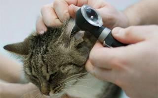 Ушные инфекции: у кота гной в ухе