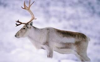 Размножение оленей: роль самца и самки оленя в воспитании потомства