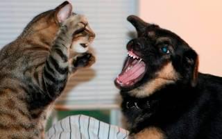Почему собаки гоняются за кошками