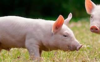 Кормление месячного теленка: полезная информация