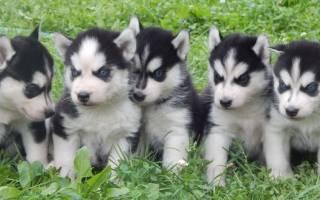 Клички собак породы хаски