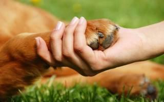 Пододерматит у собак: причины, диагностика и лечение