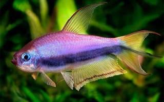 Виды рыбок тетра