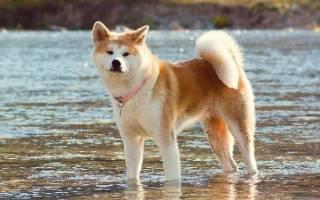 Чем хороши японские карликовые собаки