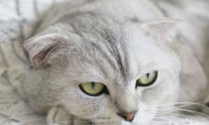 Ларинготрахеит — воспаление гортани и трахеи у кошек