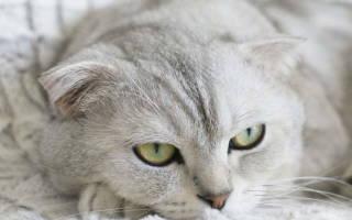 Ларингит у кошек: симптомы и лечение