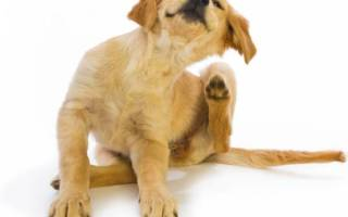 Почему собака чешется? Ищем опасные симптомы