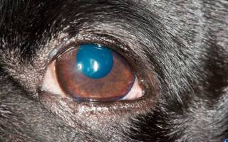 Паннус — язвенный кератит у собак