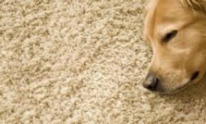 Почему собака лижет пол: выявляем причины и находим лечение