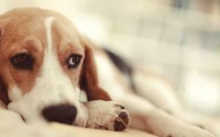 Орхит у собак — основные сведения и лечение