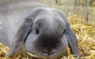 Кролики мясных пород: лучшие мясные породы кроликов