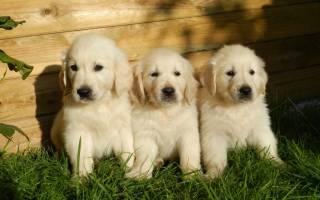 Первая вязка собаки
