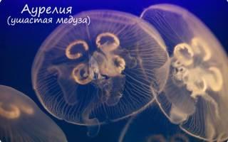 Органы медузы