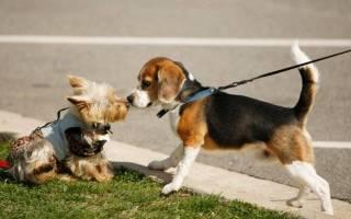 Течка у собак