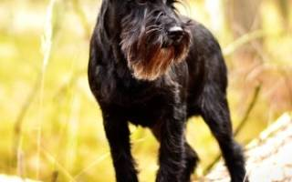 Цвергшнауцер – размер собаки