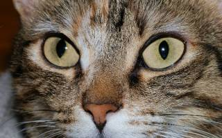 Болезни глаз у кошек: разновидности и способы лечения патологий