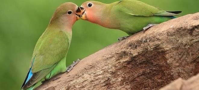 Все о попугаях неразлучниках от кормления до методов приручения