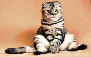 Язва на коже у кошки