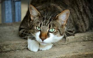 Кровь в кале у кота и кошки: причины и лечение