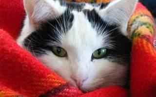 Простуда у котят