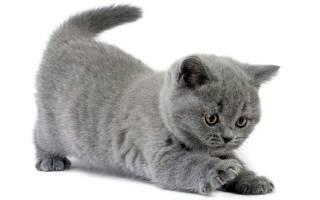 Британская кошка розовая: особенности