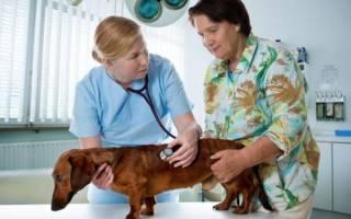 Пупочная грыжа у собак: виды, причины и варианты терапии