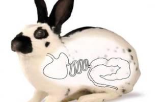 Лечение кроликов: тимпания у кроликов