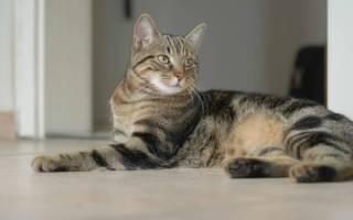 Бразильская короткошерстная кошка: кто она