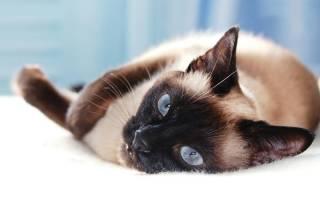 Голубая сиамская кошка: особенности