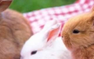 Вислоухий декоративный кролик: продолжительность жизни в неволе