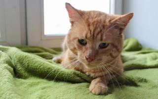 Лейкоз у кошек и котов: симптомы и лечение