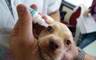 Болезни глаз у собак: симптомы и лечение разных форм заболеваний
