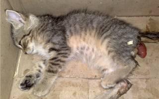 Выпадение прямой кишки у котенка: частое явление