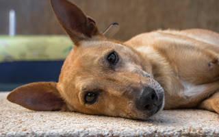 Разбираемся в причинах облысения у собак