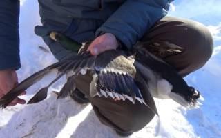 Крыло утки: как подрезать крылья уткам