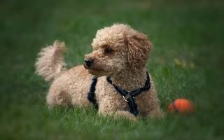 Самая послушная порода собак
