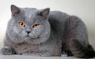 Сбалансированное меню британских кошек