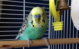 Аллергия на попугая у ребенка