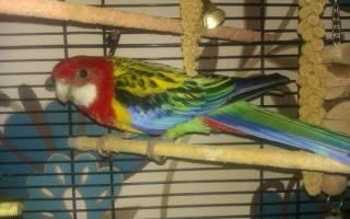 Содержание попугаев дома: выбираем самый неприхотливый вид