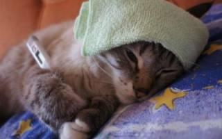 Микоплазмоз у кошек: причины, симптомы, лечение