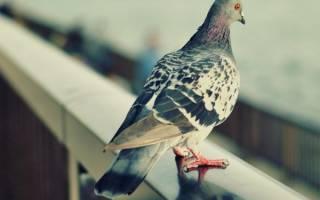Как отвадить голубей от кормушки