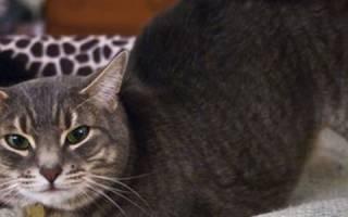 Как успокоить загулявшую кошку