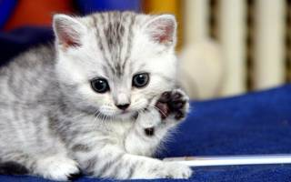 Запор у маленького котенка