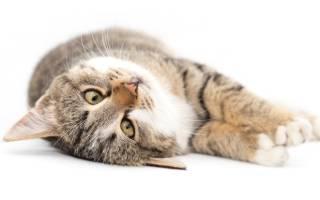 Восстановление кошки после стерилизации: период реабилитации по дням