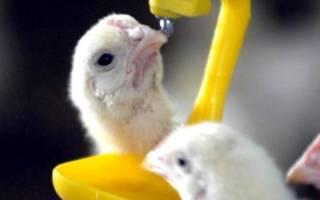 Антибиотики для цыплят как профилактика
