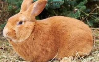 Сколько весит кролик: породы и размеры