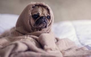 Как выглядят глисты у собак: основные типы паразитов и способы заражения