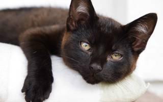 Лейкемия кошек: симптомы и лечение