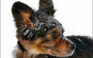 Себорея у собак — весьма неприятный недуг