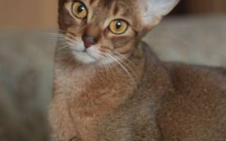 Орхит – воспаление семенников у котов